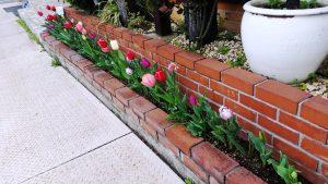 チューリップも感動的に咲きました