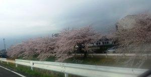 感動の桜並木