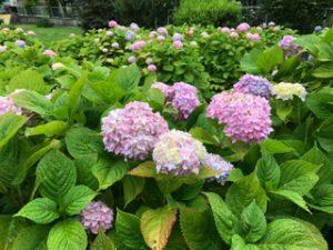 アジサイがたくさんきれいに咲いておりました