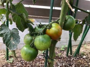 家庭菜園では、野菜が順調に育っています。