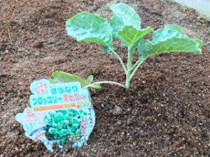 家庭菜園のトマトとキュウリを植え替えました。