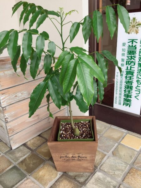 豆の木ですがすくすく成長して