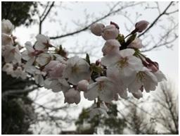 ソメイヨシノが5分咲きできれいでした